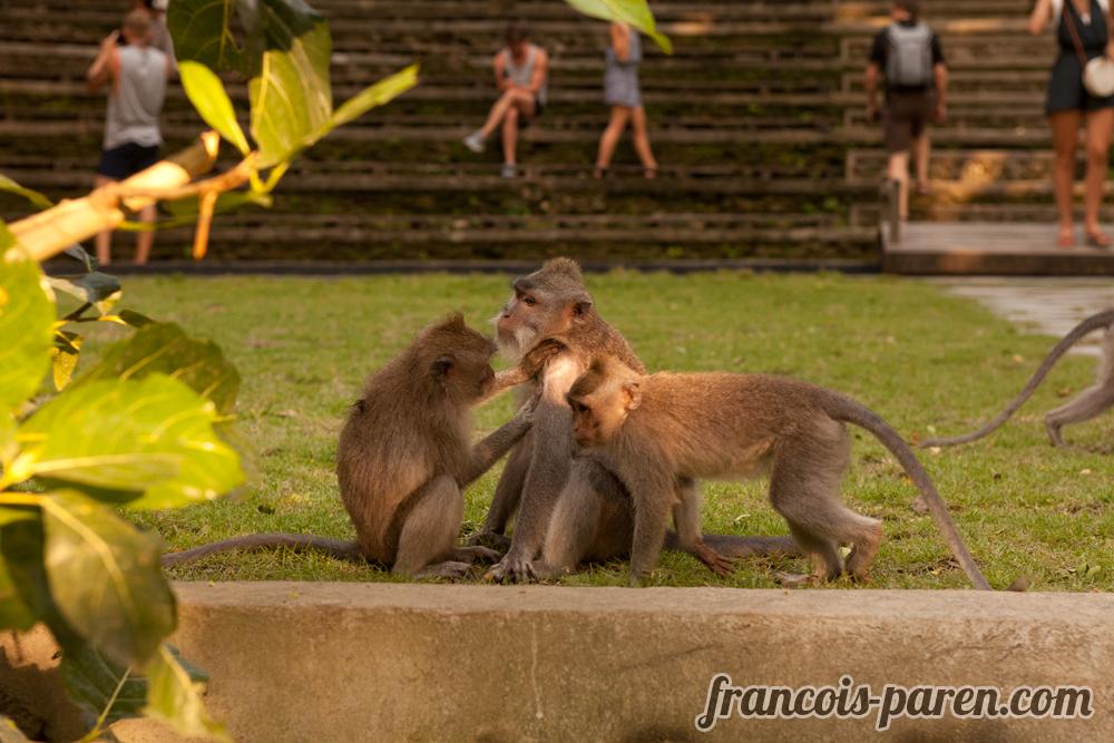 singes Monkey Forest Ubud Bali